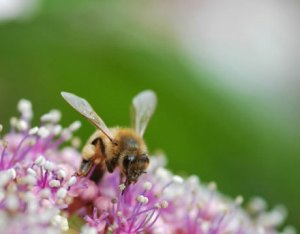 honey-bee-flower-nw-lg1.jpg
