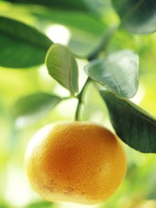 david-murray-calamondin-orange-october-ronda-spain