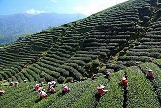 Tawain Oolong Tea Harvest